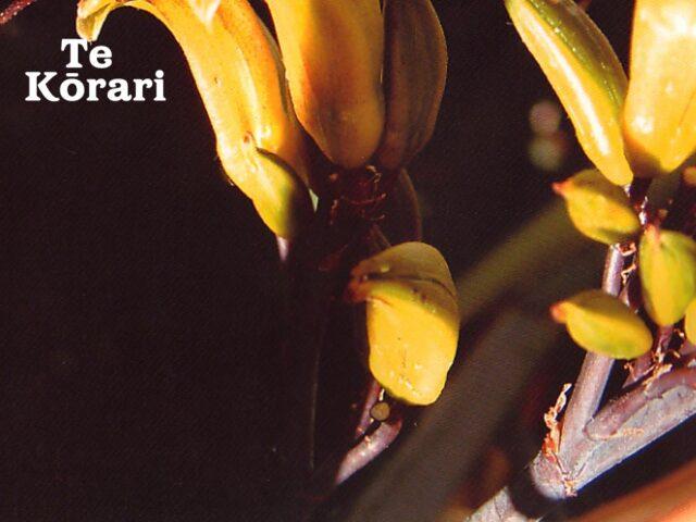 Te Kōrari